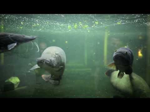 Monster wolf fish feeding 720P