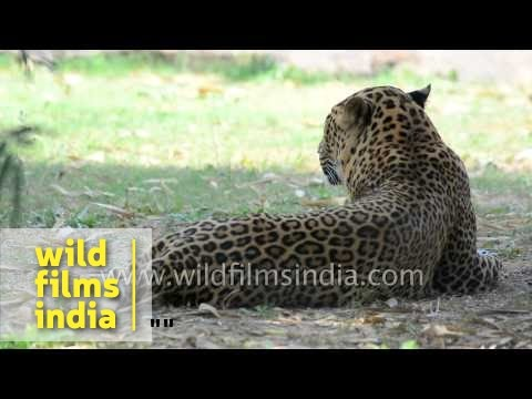 Leopard rests on ground in Indian forest