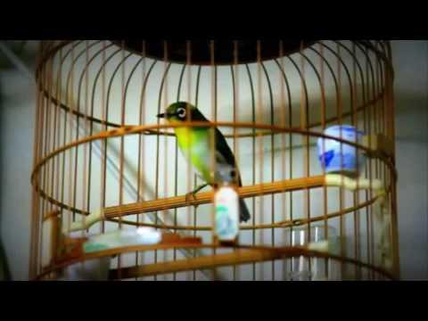 Suara Ocehan TEMBAKAN Burung PLECI Durasi Lama Untuk MASTERAN dan PANCINGAN