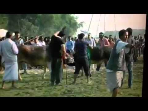 Bangladesh bullfight