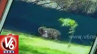 White Tiger kills A Man Inside Its Enclosure At Delhi Zoo || Must Watch