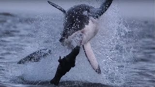 Giant Great White Shark ATTACKS! | Super Giant Animals | BBC