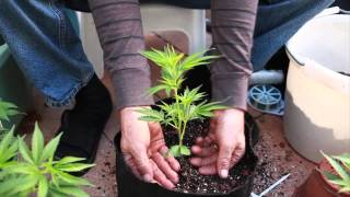 Grow Cannabis – What a difference a pot makes... – by Jorge Cervantes