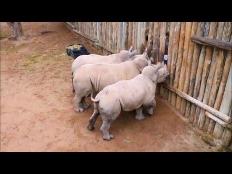 Baby Rhinos Cry When Their Milk Runs Out!