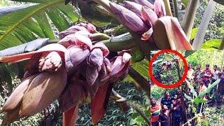 * অলৌকিক ঘটনা || ঝিনাইদহে কলাগাছে এক কাঁদিতে ৭০টি কলার মোচা ||  Latest News