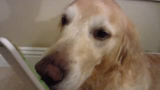 ASMR - 44 Minutes of Dog Licking Orapup Tongue Cleaning Brush - Golden Retriever