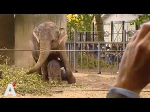 Pasgeboren olifantje Sanuk zet eerste stapjes in de buitenlucht