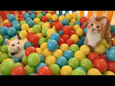 Two Cats and 500 Balls in a Ball Pit