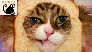 Funny Cat Gets Head Stuck Inside Slice Of Bread | CatNips