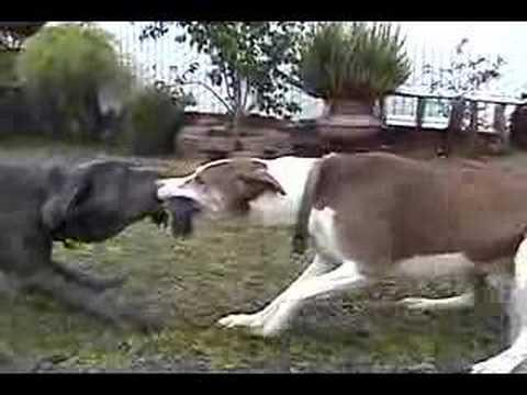 neo mastiff 5month vs pitbull mix