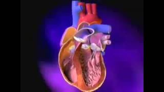 Heart: Excitation-Contraction Coupling