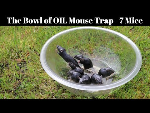 A Bowl Of Peanut Oil Catches 7 Mice In 1 Night Motion Camera Footage