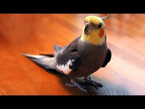 Попугаи свистят и поют под гитару