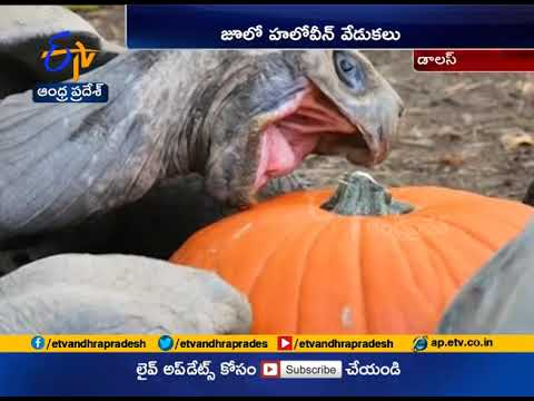 Xxx Mp4 Halloween Pumpkin Treat To Animals Draws Smile On Visitors Dallas Zoo 3gp Sex