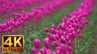 Spring Flowers in 4K (Ultra HD) | 4 Hours - Nature Relaxation Video - Tulip Festival - Episode #5