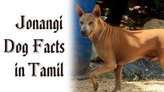 Jonangi Dog Facts in Tamil | Namma Naattu Naaigal | Best Dog | Tamizhar Dharavi
