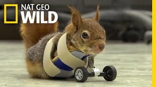A Squirrel's Prosthetic Wheels Are the Key to Recovery | Nat Geo Wild
