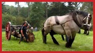 WORLD BIGGEST Horse breeding big Horse Shaikh Al Shai
