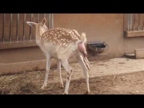 Deer Birth Experience