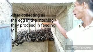 Duck farm visit/pag-aalaga ng itik/profitable business/Mallard 🦆 duck business