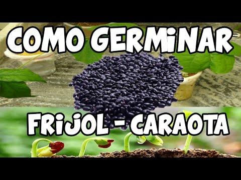 Germinar Frijol Caraotas de Manera Rapida Del Semillero al Trasplante La Terraza de Jose