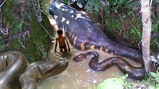 Anaconda vs Python vs Cobra Snake Peleas a Muerte HD