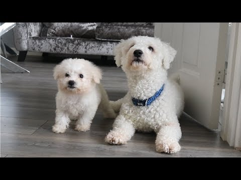 Xxx Mp4 Bichon Frise Puppy Adult Video 1 Rebecca Shuttleworth 3gp Sex