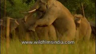 Elephants mating in the wild!