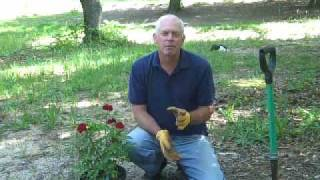 Planting A Rose In Less Sunlight