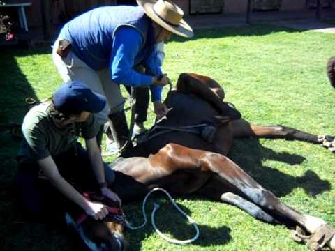 Castración de un caballo curso aux en clinica ecuestre