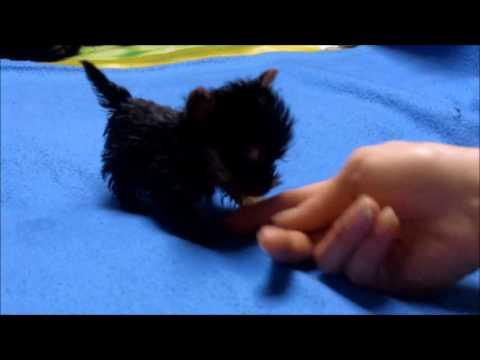 Meysi z Jarocina najmniejszy pies świata