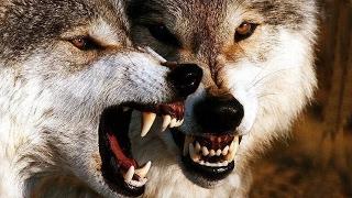 اعرف اكثر| الذئب حيوان مخيف ام مثير للاعجاب؟