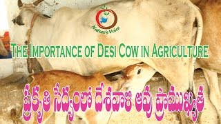 Natural Farming | The Importance of Desi Cow in Agriculture (Telugu) | Narasimhappa