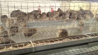 Quail farming (Small Quail Farm at Home)