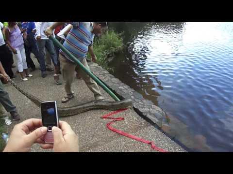 REAL anaconda en parque de la llovizna de venezuela