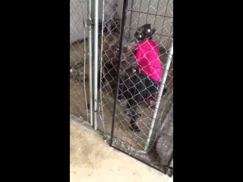 Girl jacks off male dog for artificial insemination