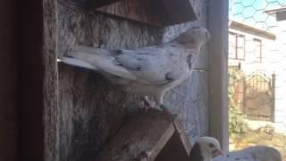 Roller Pigeon update 7/5/2017