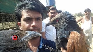 Bird catching trap removing|  Bird catching trap remove video|  Sarpmitra Bharat Dighe