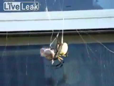 עכביש נגד צרעה מי ינצח בקרב