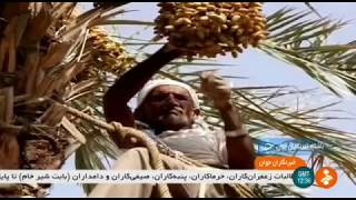 Iran Date harvest & Date processing, Bandar Abbas city برداشت و فرآوري خرما بندرعباس ايران