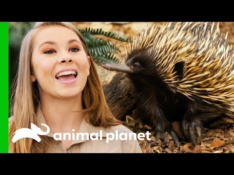 Bindi Releases Little Grub The Echidna Back Into The Wild Crikey It s The Irwins