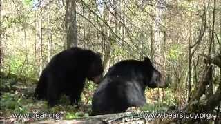 May 21, 2012 - Braveheart the Black Bear - Braveheart Mating