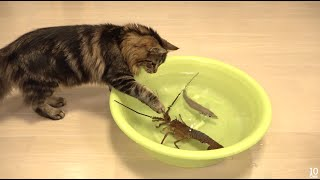 Japanese spiny lobster vs Cat  猫vs伊勢海老