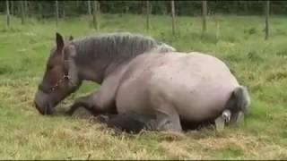 سبحان الله شاهد كيف تلد اثنى الحصان