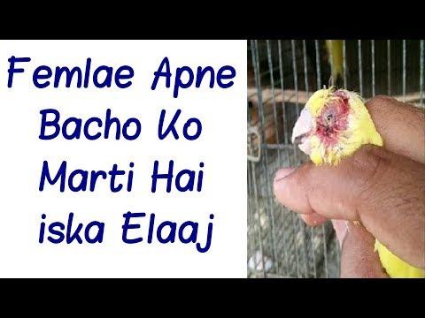 Xxx Mp4 Budgies Parrots Femlae Apne Bacho Ko Marti Hai Iska Elaaj In Urdu Hindi 3gp Sex