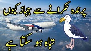 Hawai Jahaz Se Parindon Ka Takrana Plane And Bird Urdu Hindi