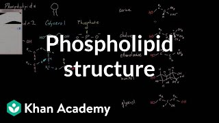 Phospholipid structure | Cells | MCAT | Khan Academy