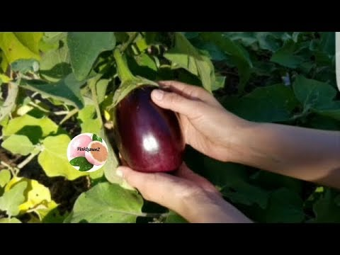 BERENJENA MADURA /RIPED  EGG PLANT