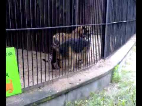 Pies wszedł do klatki z tygrysem