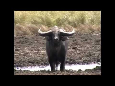 Buffalo Hunting Australia